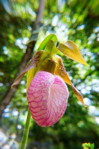 lady slipper